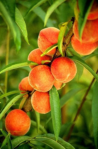 395px-Flameprince_peaches