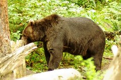 2008-08-21 Northwest Trek Bear enclosure