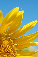yellow vs blue (shizucha) Tags: blue summer macro yellow sunflower simplyflowers d40
