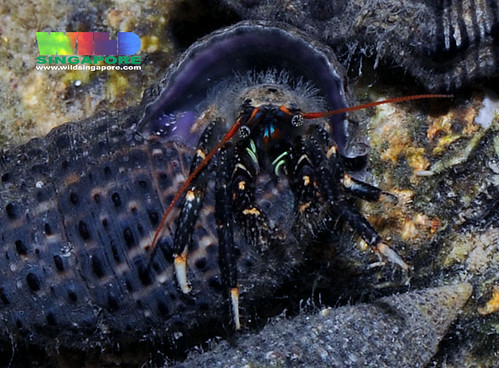 Black hermit crab (Clibanarius virescens)