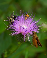 The Hub (Canicuss) Tags: orange black flower macro green nature yellow closeup three wings purple thistle moth skipper insects bugs nightclub bee lepidoptera several beatle multiple trio popular thehub marginedleatherwing fuzzylegs canicuss blackhairylegs