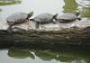 3 turtles (denisparedesprieto) Tags: 3 tree animals agua schildpad turtles tartaruga tortugas カメ 거북 broasca ábrol χελώνασ