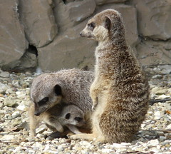 Family ties (Clare L H) Tags: nature animal animals meerkat searchthebest wildlife mammals animalplanet potofgold flamingoland naturesfinest wonderworld blueribbonwinner wonderfulworld passionphotography anawesomeshot ysplix worldofanimals theperfectphotographer natureselegantshots itsazoooutthere rubyphotographer vosplusbellesphotos alittlebeauty