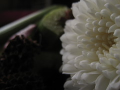 dawn (Jus.) Tags: flowers sun photography blackwhite aperture focus clones zippers rosses happyflowers artofphotography