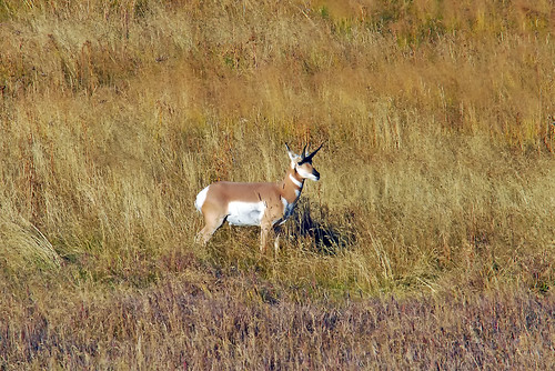 Pronghorn, Lamar Valley 0179b