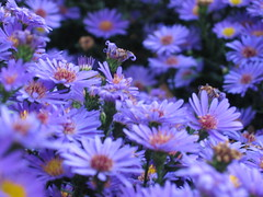 Mums (R Stanek) Tags: flowers ohio summer purple mums barberton seenonflickr