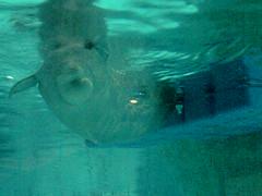Yulka medical check (Olaya Garcia) Tags: valencia beluga artico medico oceanografico yulka chequeo