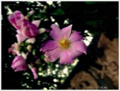 cada flor .. (Matteus Oberst) Tags: flowers brazil macro primavera flor vida colourartaward