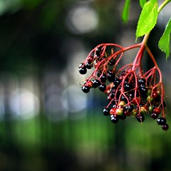berry bokehday (explored) (scotteek) Tags: berry bokeh hbw photofaceoffwinner pfosilver bokehrama