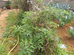 tomato plants december hania chania