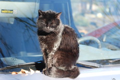 She sits on my car the whole morning (dreamylynn) Tags: cat cuties