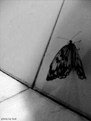 butterfly (b&w) (tadikatakura) Tags: butterfly smx mallofasia