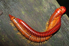 mating millipedes (pbertner) Tags: red orange black male yellow female rainforest asia southeastasia legs miri abundant bands rings jungle sarawak malaysia borneo mating millipede ringed banded millipedes myriapoda niahcave diplopoda batuniah telson niahnationalpark pbertner epiproct