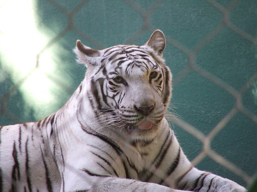 deformed white tiger pictures. White Tiger in Siegfried
