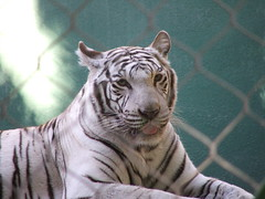 White Tiger in Siegfried & Roy's Secret Garden and Dolphin Habitat at the Mirage Las Vegas
