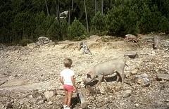 Ballade au lac de l'Ospédale : les cochons du lac