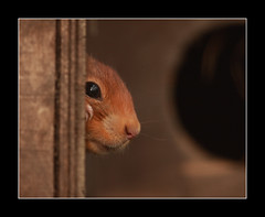 peekaboo (felt_tip_felon) Tags: red eye rodent squirrel bokeh profile whiskers bwc redsquirrel britishwildlifecentre abigfave vosplusbellesphotos