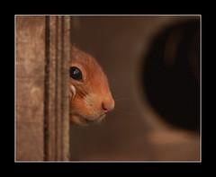 peekaboo (felt_tip_felon®) Tags: red eye rodent squirrel bokeh profile whiskers bwc redsquirrel britishwildlifecentre abigfave vosplusbellesphotos