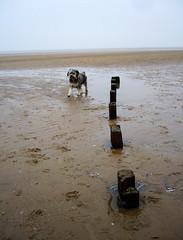 Zinny on Brancaster beach (johnnylondon) Tags: dog beach pon
