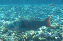 136_3604 (LarsVerket) Tags: egypt snorkling fisk undervannsfoto
