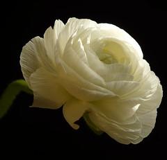 Ranunkel (Ellen_Anne (mostly off)) Tags: flowers white black nature natur blumen schwarz blten excellence ranunkel weis supershot flowerquest