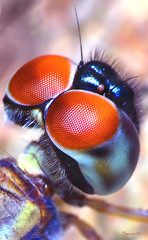 Glimpse (Spoon 99) Tags: blue light red wild orange macro green art love nature beautiful animal canon bug insect fun fly photo cool interesting fantastic artwork eyes rainforest colorful peace close photos dragonfly bokeh flight mini best safari tiny tropical parasite insecto insecta macrolife antropod spoon99