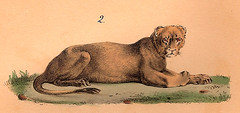 Lioness / Leoa (CGoulao) Tags: old animal illustration image estudo femme selva lion picture leon atlas antiga animaux lioness ilustrao desenho leo planche imagem ancienne antigo studie zoology leoa estudar selvagem gravura fmea sauvage 1833 zoologia buffon trait gravure zoologie