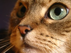 Those big eyes (mauzlover) Tags: macro closeup cat germany deutschland bigeyes feline chat lily kitty lilly katze bestofcats catmoments friendsofzeusphoebe