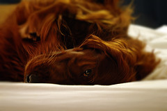 Riley at Work (Riley and Amos) Tags: red irish riley bed upsidedown lazy irishsetter setter gundog laze dogdayafternoon