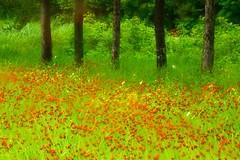 Summer Wildflowers (Canadapt) Tags: flowers trees abstract softfocus keefer naturesfinest mywinners visiongroup colourartaward platinumheartaward artlegacy canadapt jmpick
