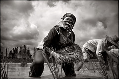 in the rice field (fly) Tags: thailand asia rice worker issan bwemotions nhongkai fly simonkolton