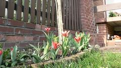 P1130246 (pawel.nowak) Tags: garden crocus tulip april 2009 krokus tulipan kwiecie onkil narcissusjonquilla ogrd