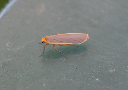 Common Footman ((Eilema lurideola)