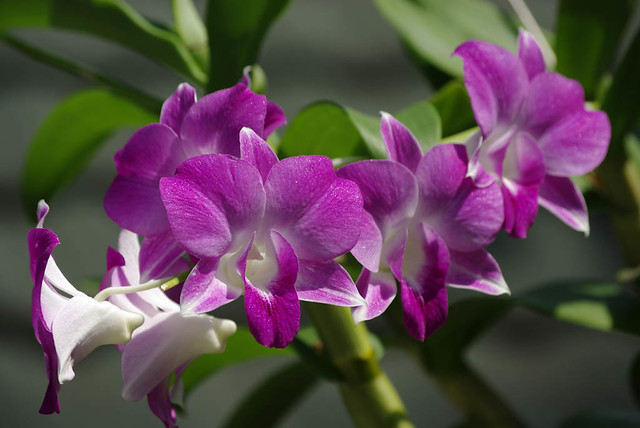Purple Orchids in Maldives