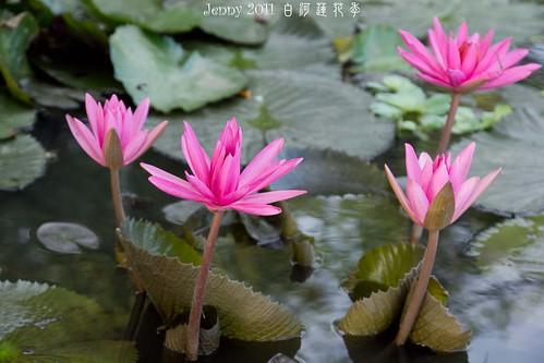 20110620白河蓮花季-5697