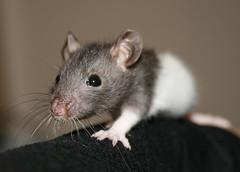 Giulio Mazarino (Misja Klimov) Tags: pet cute rodent rat mascota rata petrat roedor fancyrat blackhooded supershot rosegador