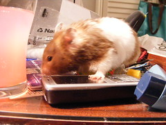 Yup - I'll have this phone and....hmm maybe these earrings here.... (hendongirl) Tags: food pet cute animal fur rodent furry broccoli whiskers eat hamster hungry shovel suey hamsters hammie pocketpet ehammie