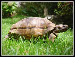 Having a Walk - Caminando (Gabriel Robledo) Tags: verde green garden turtle reptile jardin tortuga reptil
