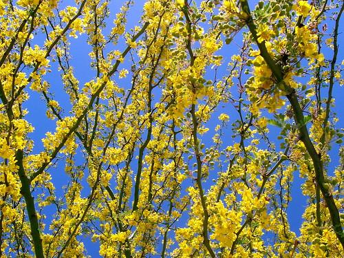 Palo Verde Blooms & Blue Sky
