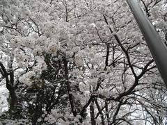 花見/砧公園 2008 4