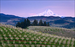 Hood River Pastels (Zack Schnepf) Tags: sunset mountain snow field oregon rural landscape spring mt pastel peak pasture pear hood zack capped mounthood hoodriver orchards schnepf