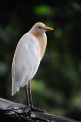 Kuala Lumpur Bird Park 2008 (2)- Egret