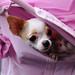 チワワ:Chihuahua_27