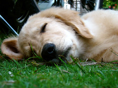 Preguioso (+ 2 fotos) (Evandro Arruda) Tags: macro goldenretriever close buddy bullseye olho pata detalhes musictomyeyes h9 focinho justgoldenretrievers imagequality dogpersonality duetos flickrscorer diamondheart amazingshots globalvillage2 heartawards crticafotogrfica wonderfulphotosfortheworld visofotogrfica betterthangood flickrroseawards shiningstar essaimagemmefaz digitaleloquence goldenglobe1awards bculgroup |positiveandnegative 469photographer fdogs evandromartins flickrballoonaward