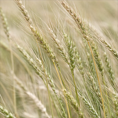 Oklahoma Wheat (hz536n/George Thomas) Tags: summer oklahoma wheat perkins 2008 cs3 canon30d canonef70200mmf4lusm