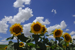 sunflowers (antonio burguet) Tags: sky espaa paisajes art beautiful beauty clouds geotagged amazing spain nikon europa europe arte shot image artistic magic awesome favorites paisaje andalucia cielo sunflowers nubes sunflower bella fav d200 nikkor andalusia antonio simple crdoba imagen belleza girasol magico 1000views bello magica girasoles 2000views supershot burguet geoetiqueta grouptripod antonioburguet