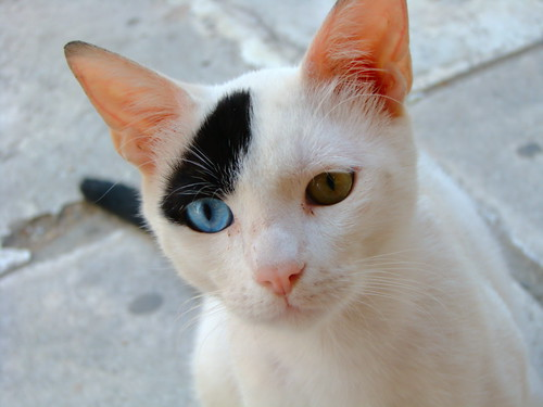Odd-eyed cat by ihasb33r, on Flickr