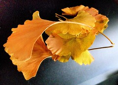 Ginkgo biloba en otoo./ In the autumn. (berpala) Tags: flowers naturaleza flores flower color green colors ego lights photographer searchthebest screensaver postcard awesome ciudad textures leon postcards soe magicmoments autunm smrgsbord enjoylife naturesfinest dinnerandamovie straightfromcamera blueribbonwinner digitalcameraclub 5photosaday flickrsbest kartpostal fantasticflower fineartphotos golddragon abigfave platinumphoto anawesomeshot flickrplatinum isawyoufirst deniscollette superbmasterpiece flickraward infinestyle diamondclassphotographer flowerpicturesnolimits amazingamateur theunforgettablepictures colourartaward platinumheartaward excapture betterthangood goldstaraward internationalgeographic thebestofday gnneniyisi unlimitedphotos academyofphotographyparadiso thebestpicturegallery flowersarefabulous alwayscomment5 mimamorflowers llovemypics flickrlovers awesomeblossoms 100commentgroup