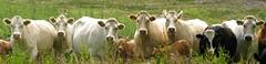 cattle (NellyMoser) Tags: ireland walks cattle farm kells 1756