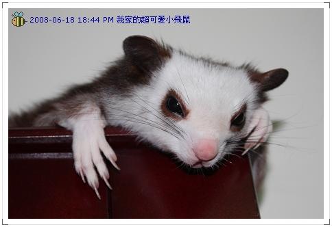 可愛小飛鼠 (2)